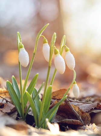 Spring snowdrop flowers blooming in sunny day. Shallow depth of field Imagens