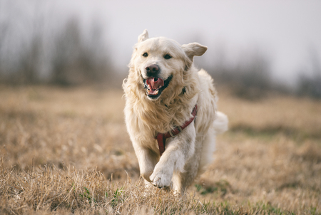Golden Retriever running and jumping on the field at sunset