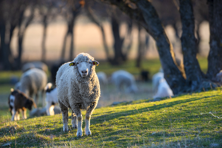 Curious sheep standing alone on meadow and looking at camera