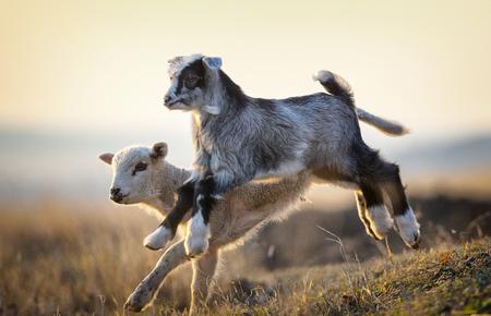 cute kid and lamb running at farm in spring