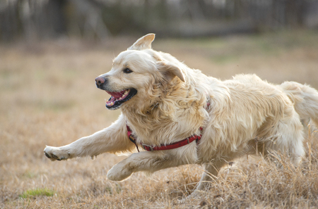 Golden Retriever running and jumping on the field at sunset Stock Photo