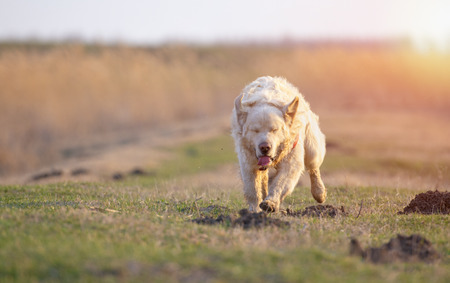 Golden Retriever running and jumping on the field at sunset Banco de Imagens
