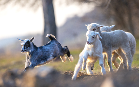 Little goat and lambs running and jumping