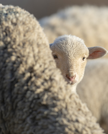 Little lamb curious and scared hidding behind her mother Stock Photo