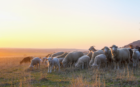 Flock of sheep at sunset in sprintime