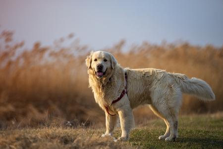 Beautifull portrait of an golden retriever