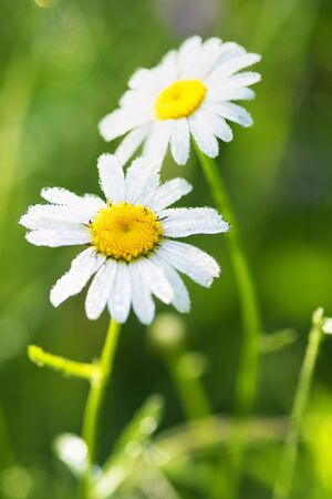 Closeup of a beautiful yellow and white Marguerite, Daisy flower Stock fotó - 129969523