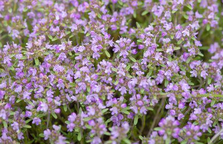 Purple wild flowers in Dobrogea mountains Stock fotó