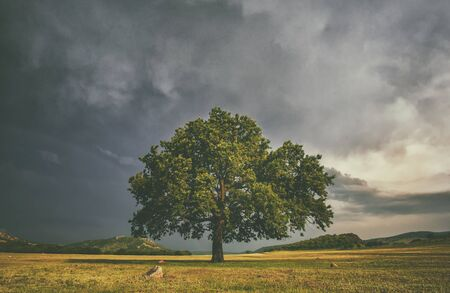 Alome oake tree in a field with stormy clouds behind