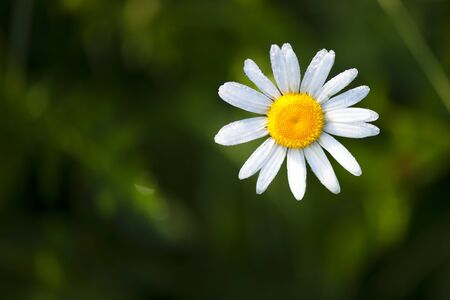 Closeup of a beautiful yellow and white Marguerite, Daisy flower Stock fotó - 129955858