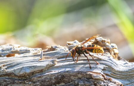 close up of a hornet on a wood piece