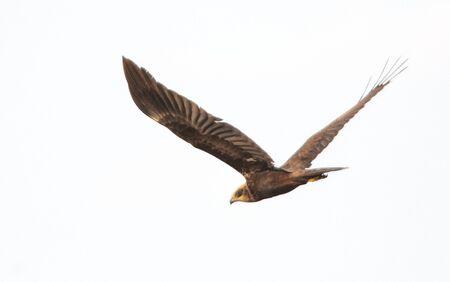 hawk prepared to hunt in summer time