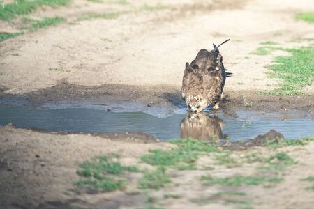 hawk drinking water from the pond