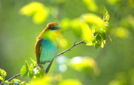 beautiful bee eater in summer time