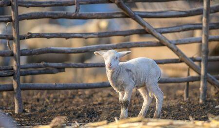 Cute and little lamb on meadow Stock fotó