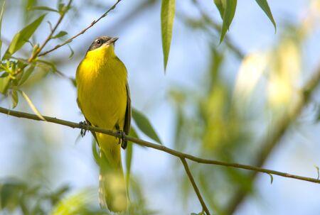 little yellow bird on a branch Stock Photo