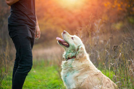 Golden retriever dog sitting and waiting his master comand 免版税图像