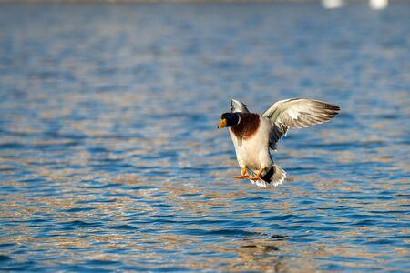 ducks on the lake on a summer day Фото со стока
