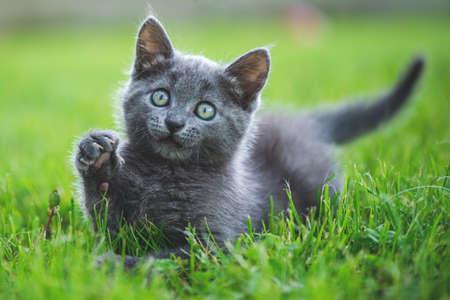 Adorable small kitten on the garden grass. British blue cat.