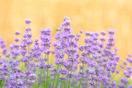 Lavender flowers at sunlight in a soft focus, pastel colors and blur background