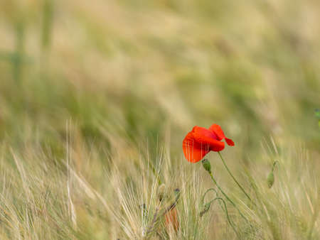 Sunlit Red Wild Poppy,Are Shot With Shallow Depth Of Sharpness, On A Background Of A Wheat Field