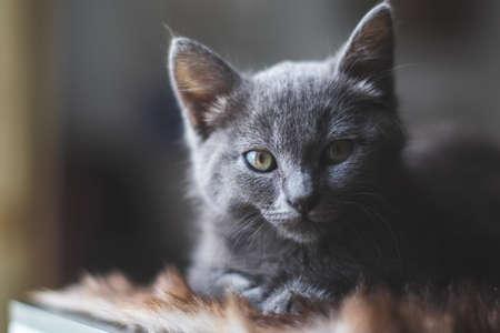 Young cute cat resting next to window. 版權商用圖片 - 155192306