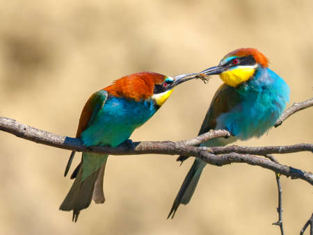 Couple of European bee-eaters (Merops Apiaster) exchanging an insect as part of a mating ritual 版權商用圖片