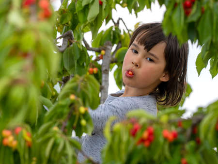 Cute girl picking cherries from a tree on a summer day.
