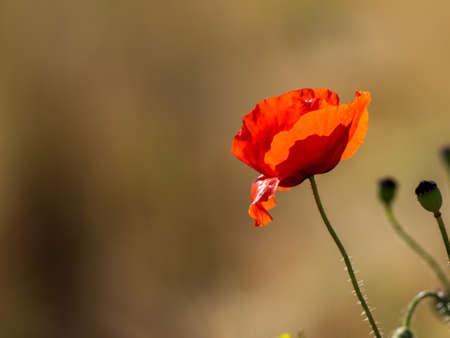 Beautiful poppy flower in sunset light