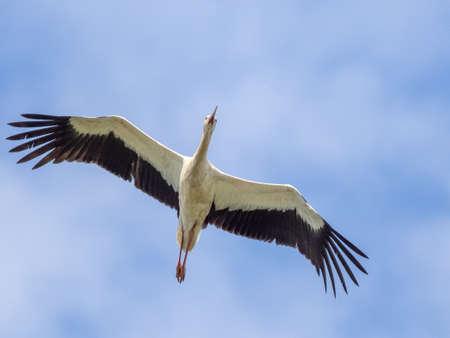 White Stork with wings raised. An elegant white stork has its wings raised as it is seen flying across a clear blue sky. 版權商用圖片 - 155292886