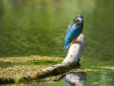 Common Kingfisher (Alcedo atthis) sitting on a stick. 版權商用圖片 - 155402456