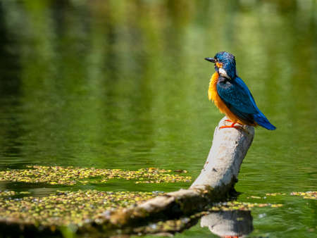 Common Kingfisher (Alcedo atthis) sitting on a stick. 版權商用圖片 - 155402457