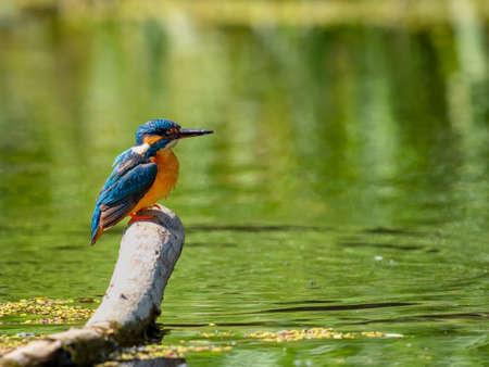 Common Kingfisher (Alcedo atthis) sitting on a stick. 版權商用圖片 - 155402458