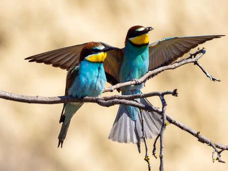 european bee-eater (Merops Apiaster) flying 版權商用圖片