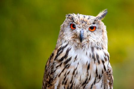 owl portrait in sunlight Standard-Bild