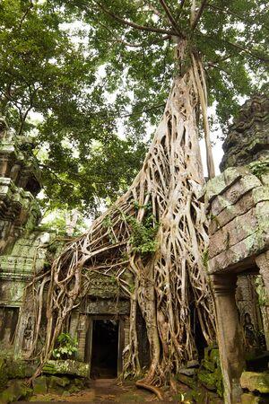 siem reap: Ancient Ta Prohm or Rajavihara Temple  at Angkor, Siem Reap, Cambodia
