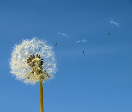 bue: Dandelion with seed flying away over b;ue sky