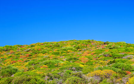 Colorful dwarf shrub with clear blue sky of Menorca island, Balearic Islands, Spain photo