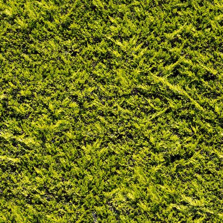 Evergreen shrub branches seamless texture.