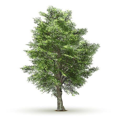 tree isolated: Green vector tree isolated on white background.