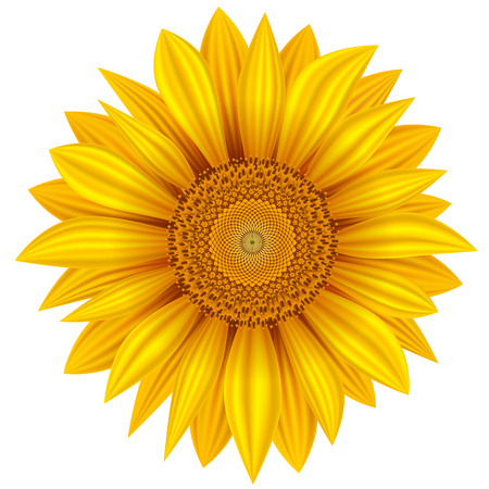 Yellow sunflower isolated on white background. Vector illustration.