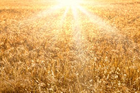 Wheat field golden sunset background. Harvest time backdrop. Stock Photo
