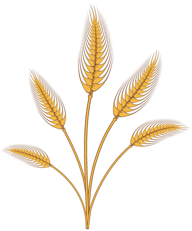 Wheat bouquet drawing isolated on white background. Vector illustration. Illustration