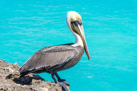 Pelikan, der auf der Meeresklippe mit türkisfarbenem Wasserhintergrund sitzt. Standard-Bild