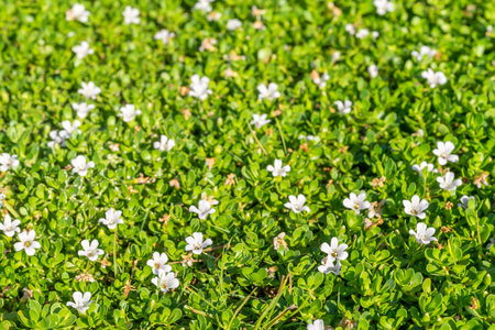 Spring Background with Small White Flowers on the Sunlight with DOF Effect. Focus on the Foreground. Vivid Green Nature Backdrop with Bokeh Effect. Zdjęcie Seryjne