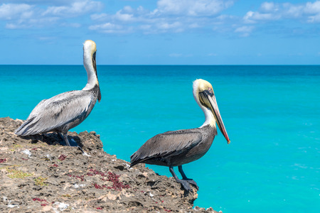 Pelicans sitting on the sea cliff with turquoise water background. Stock Photo