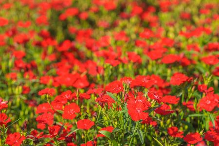 Red Flowers in the Sunlight with Bokeh Effect. Summer Background. Banco de Imagens