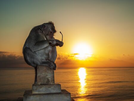 Curious Monkey Sitting in the Orange Sea Sunset and Examining Sunglasses Stolen from a Tourist, Bali, Indonesia.