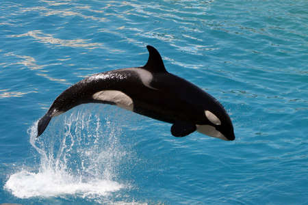 killer whale jumping out of water Stock Photo - 5390881