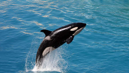 killer whale jumping out of water photo